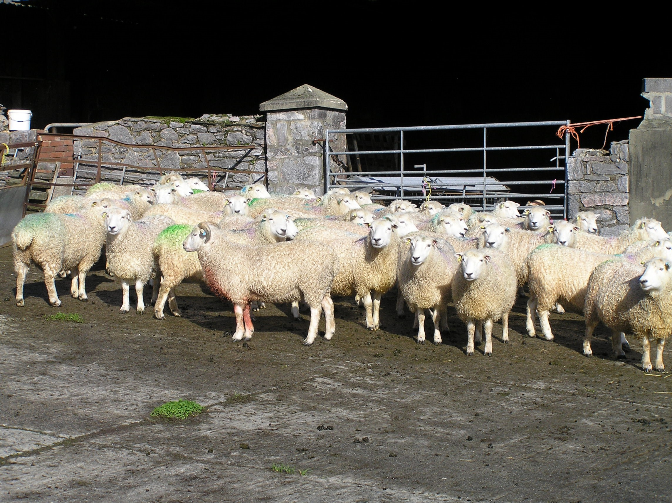 WhiteFace Dartmoor Ewes